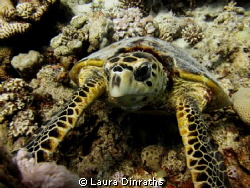 Hawksbill turtle in Ras abu Galum by Laura Dinraths 